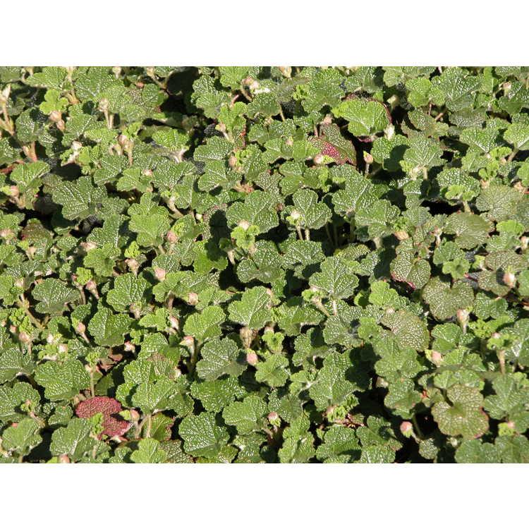 Creeping Raspberry Rubus Rolfei Emerald Carpet