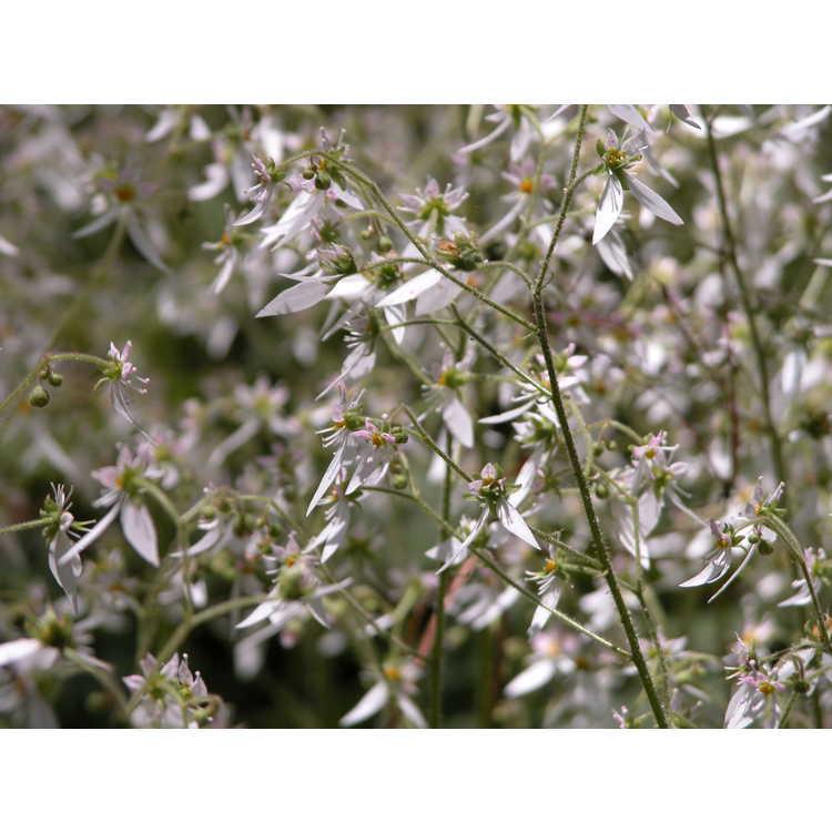 Saxifraga stolonifera - strawberry geranium
