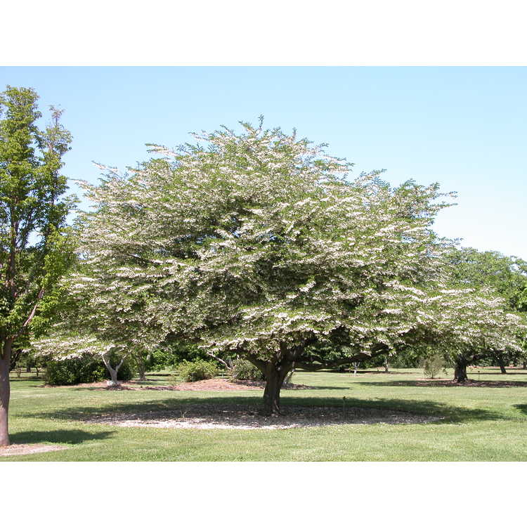 Styrax japonicus - Japanese snowbell