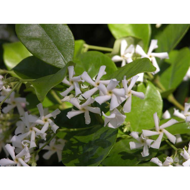 Trachelospermum jasminoides - hardy Confederate jessamine