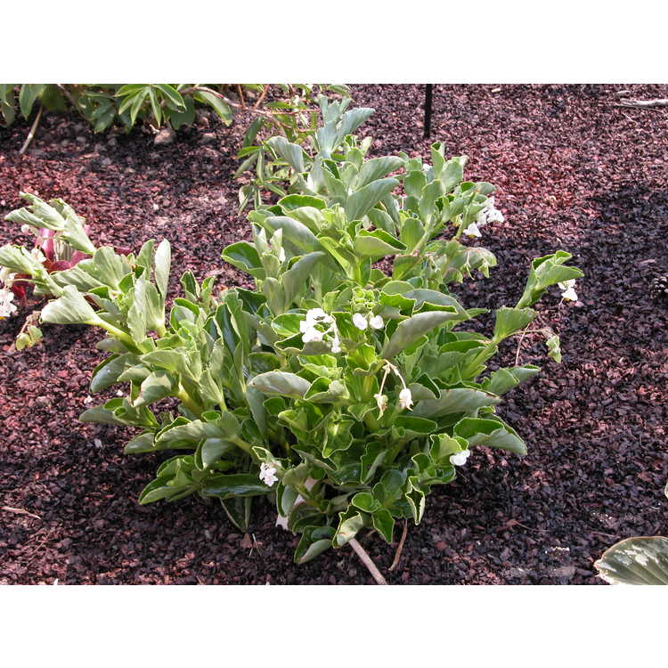 Begonia cucullata - clubbed begonia