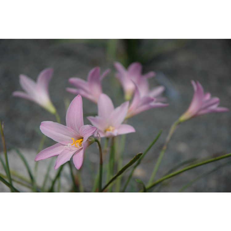 Habranthus 'Pink Flamingos' - hybrid rain-lily