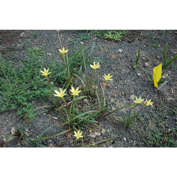 Zephyranthes primulina - yellow rain-lily