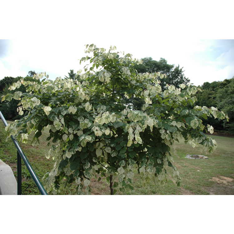 Cercis canadensis 'Floating Clouds' - variegated eastern redbud