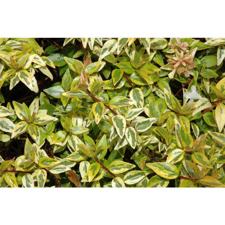 Abelia ×grandiflora 'Kaleidoscope'