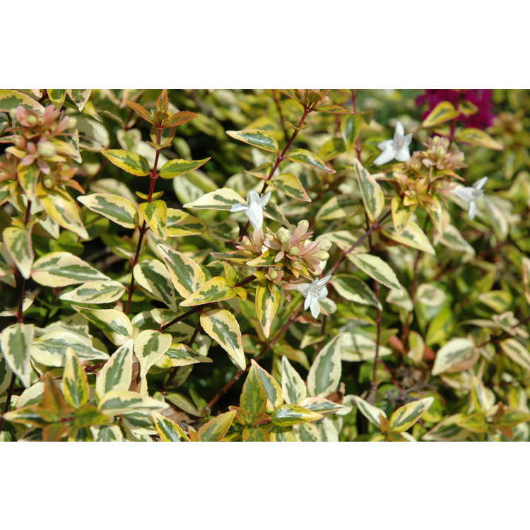 Abelia ×grandiflora 'Kaleidoscope' - variegated glossy abelia