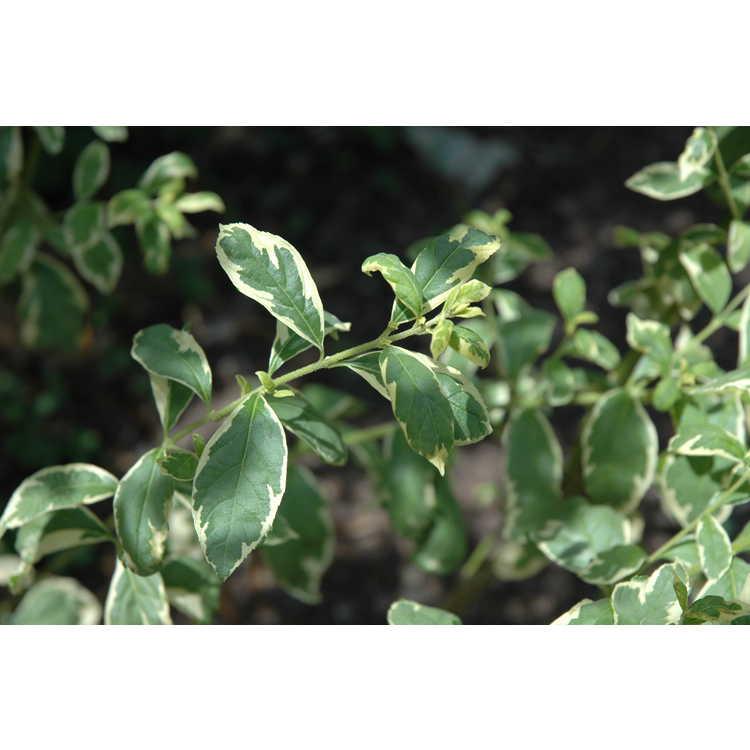 Callicarpa dichotoma 'Duet' - variegated white beautyberry