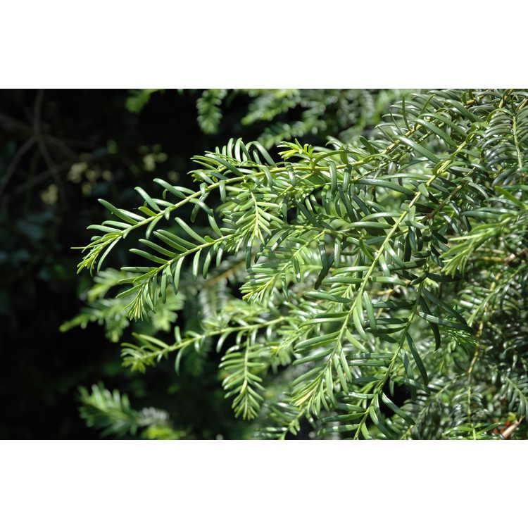 Taxus wallichiana var. mairei