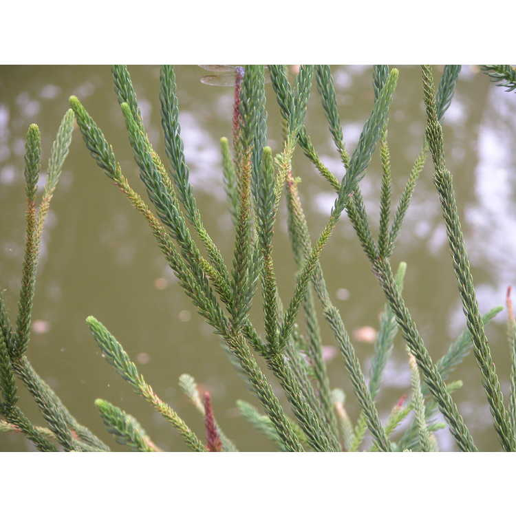 Cryptomeria japonica 'Araucarioides' - whipcord Japanese-cedar