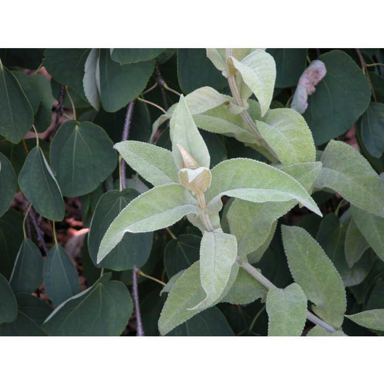 Buddleja salviifolia - South African sage-wood