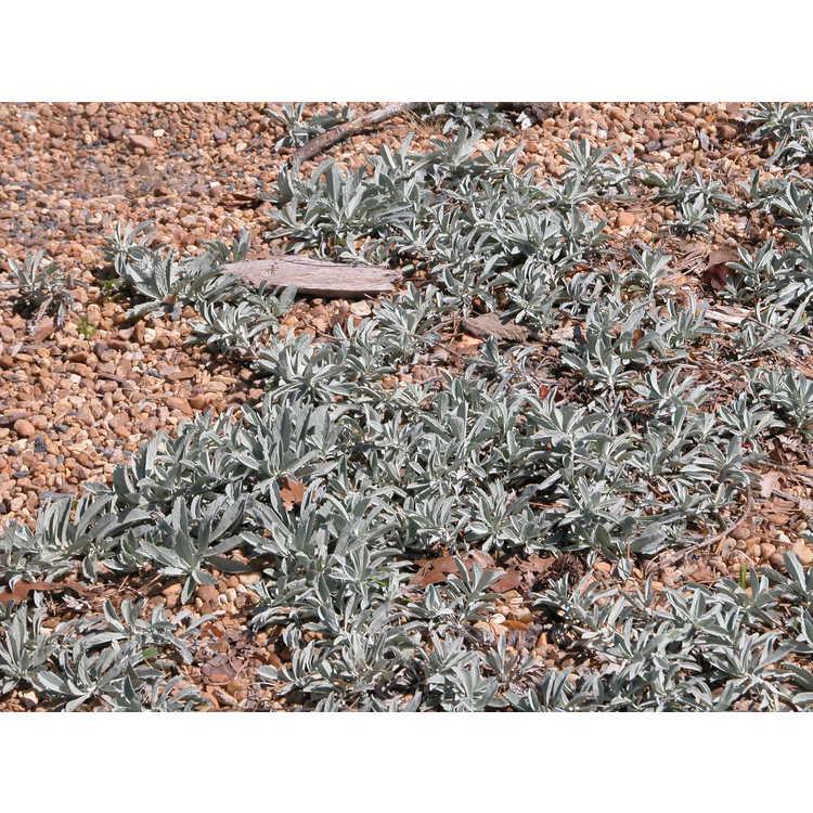Artemisia ludoviciana 'Valerie Finnis' - western mugwort