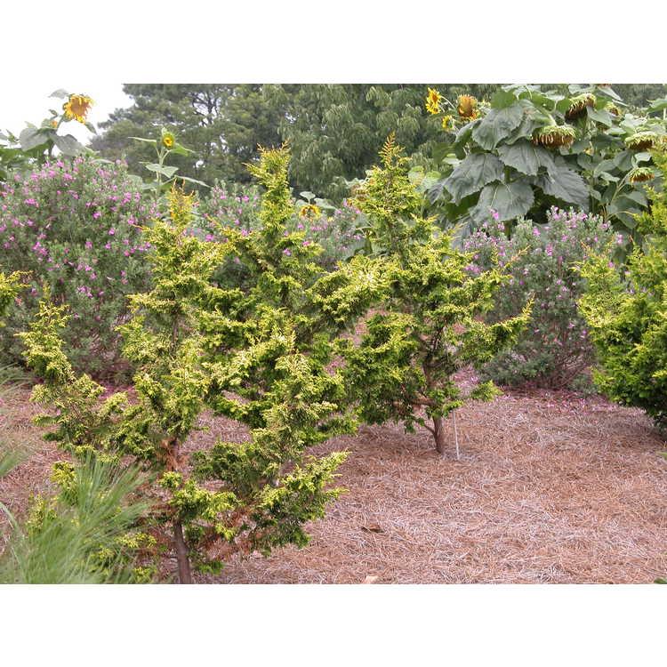 Chamaecyparis obtusa 'Tetragona Aurea' - golden fernspray Hinoki falsecypress