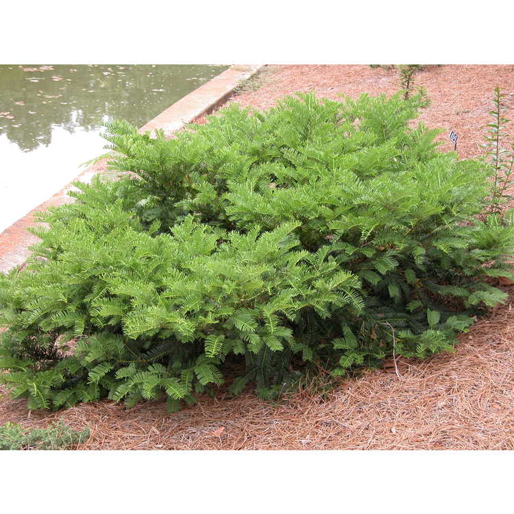 Cephalotaxus harringtonia 'Duke Gardens' - dwarf Japanese plum-yew