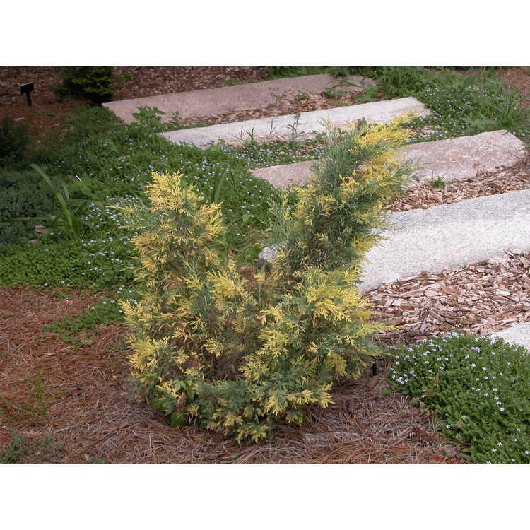 Juniperus ×media 'Daub's Frosted'