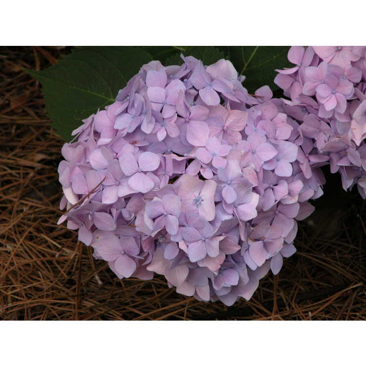 Hydrangea macrophylla 'Bailmer' - Endless Summer re-blooming hydrangea