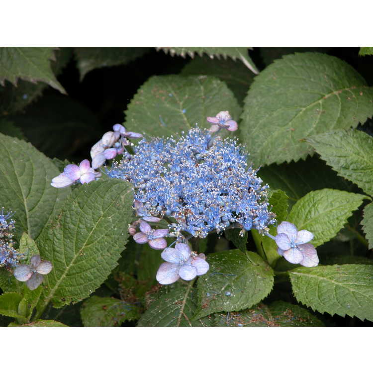 Hydrangea macrophylla 'Blue Billows'