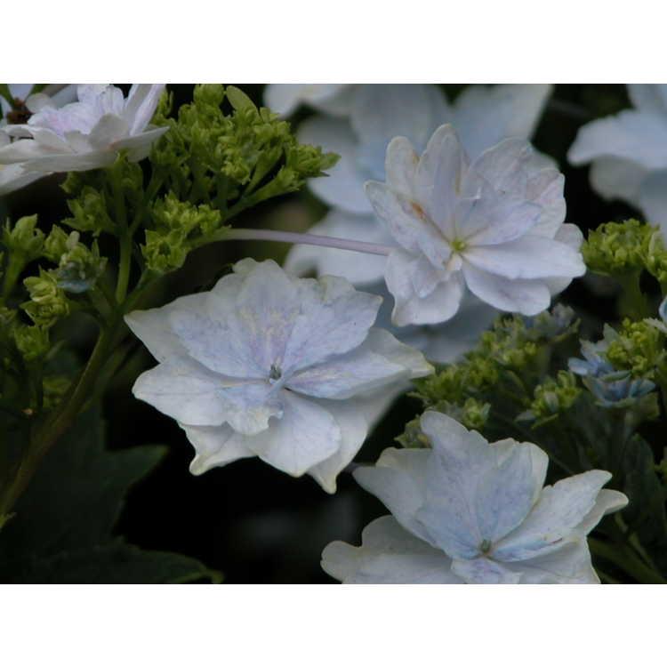 Hydrangea macrophylla 'Fuji Waterfall' - bigleaf hydrangea