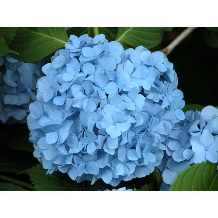 Hydrangea macrophylla 'Nikko Blue' - bigleaf hydrangea