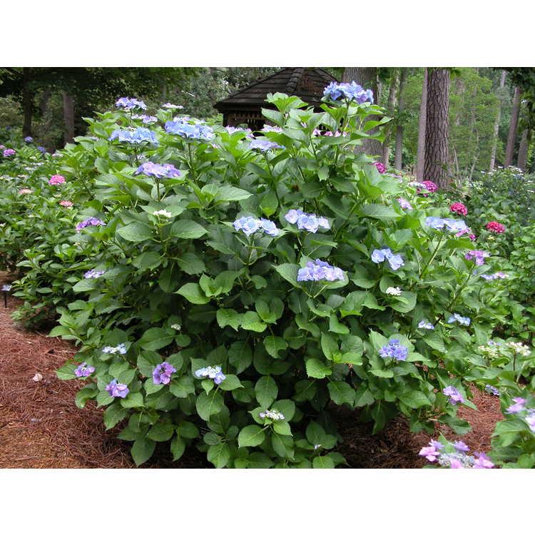 Hydrangea macrophylla - bigleaf hydrangea