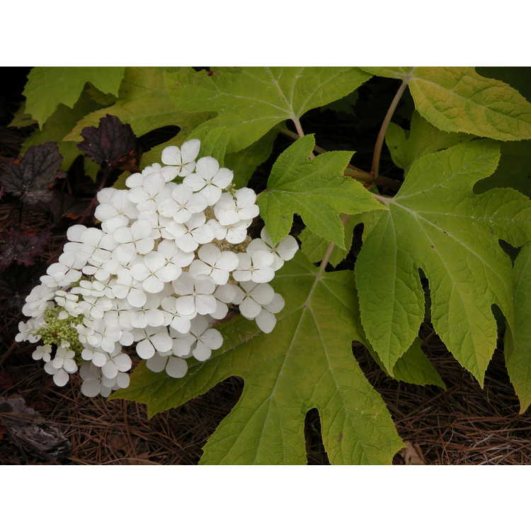 Hydrangea quercifolia 'Little Honey' - golden oakleaf hydrangea