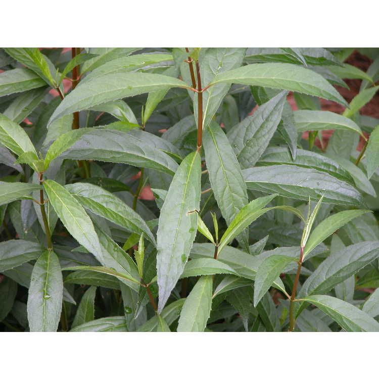 Hydrangea scandens var. chinensis f. angustipetala - hydrangea