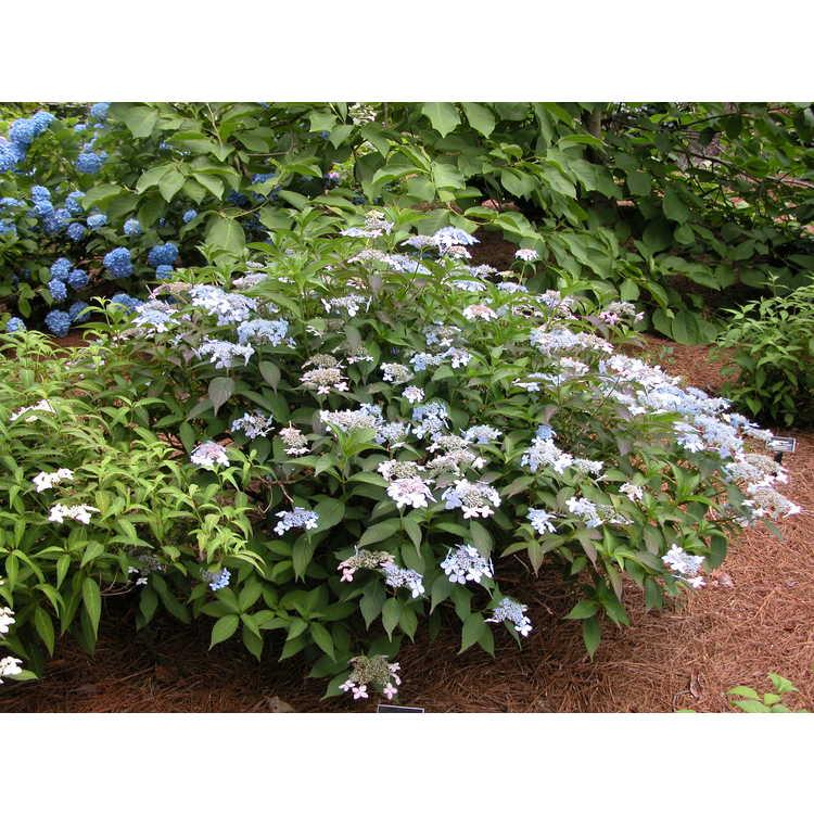 Hydrangea serrata (Wilson 7820) - compact mountain hydrangea