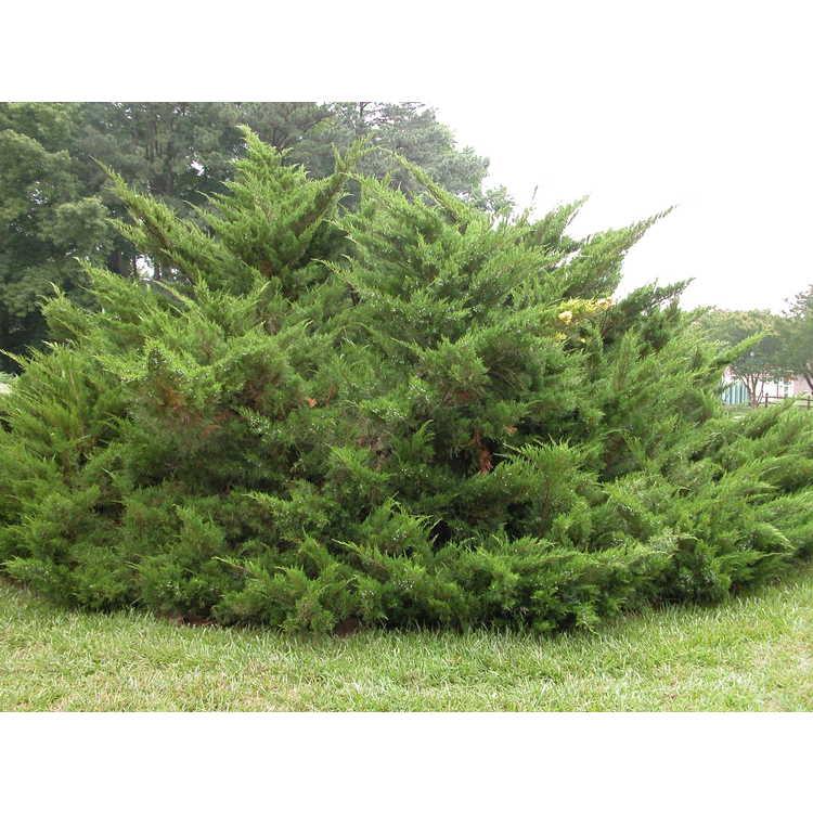 Juniperus ×media 'Sea Green'