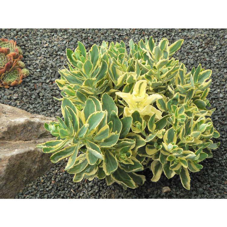 Sedum - stonecrop