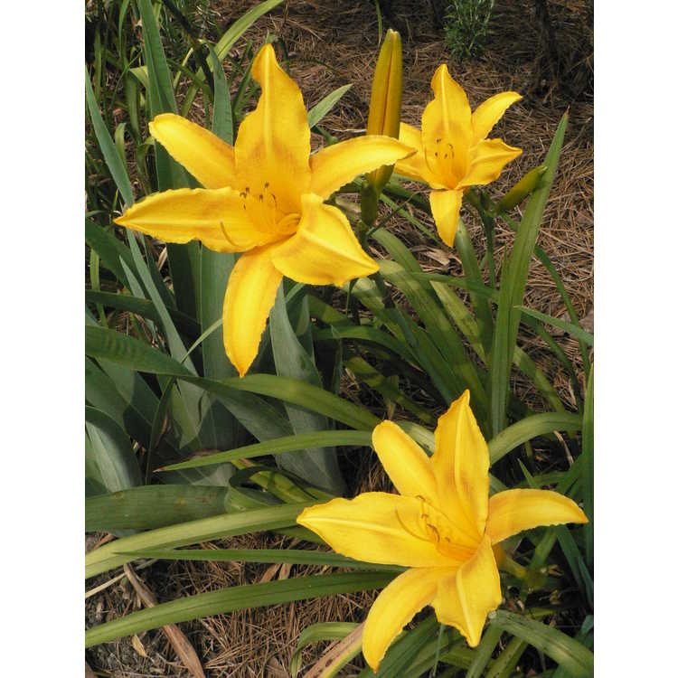 Hemerocallis 'Cartwheels' - daylily