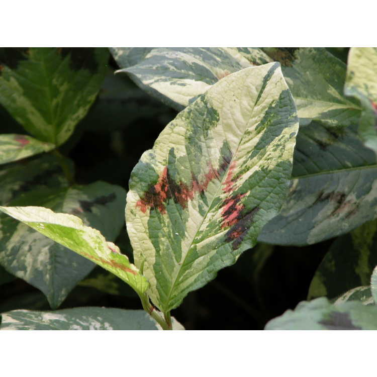 Persicaria virginiana 'Painter's Palette'