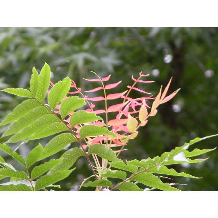 Pistacia chinensis - Chinese pistache