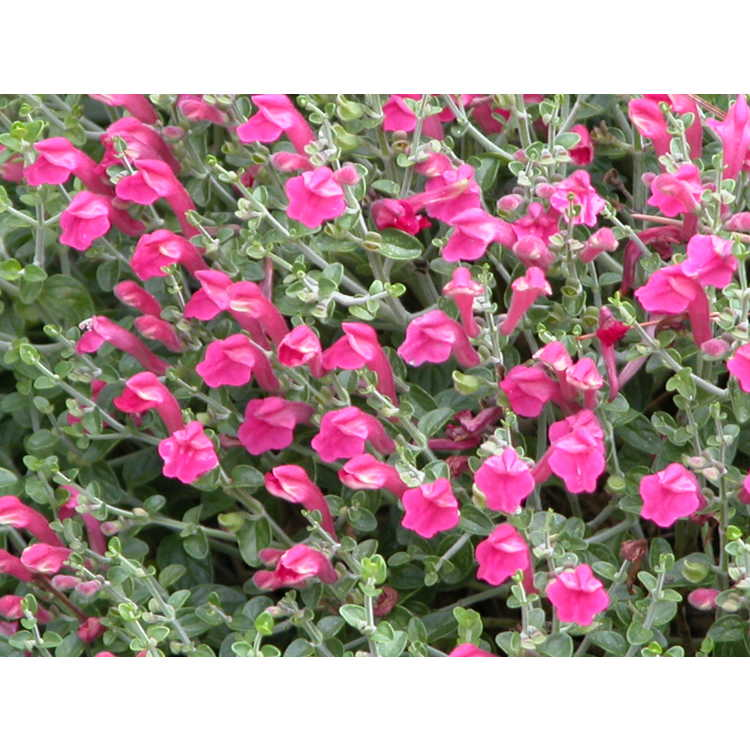 Scutellaria suffrutescens 'Texas Rose' - pink skullcap