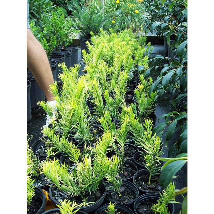 Cephalotaxus harringtonia 'Gold Dragon' - golden plum yew