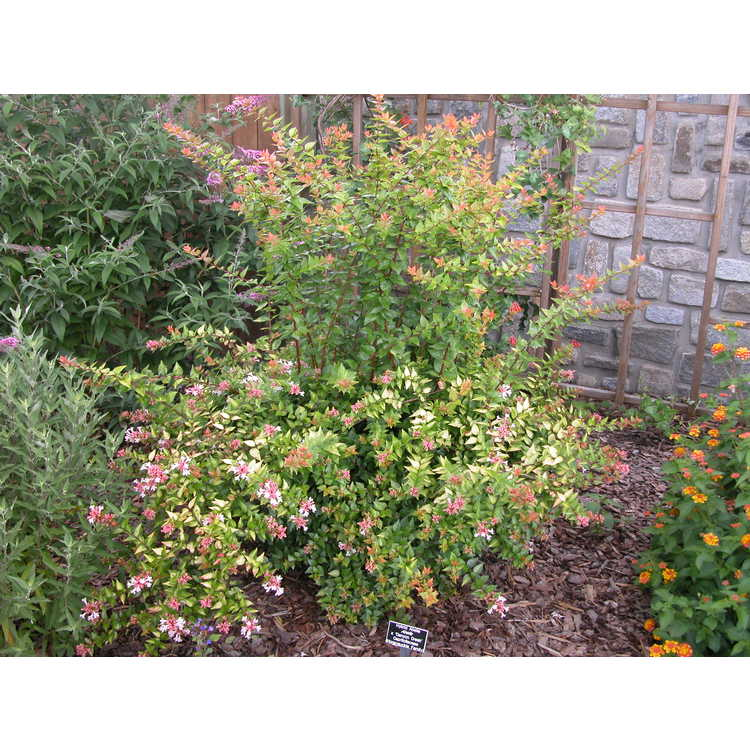 Abelia ×grandiflora 'Canyon Creek' - golden glossy abelia