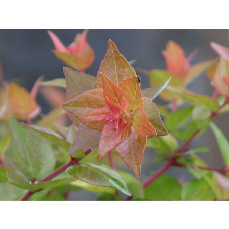 Abelia ×grandiflora 'Canyon Creek'