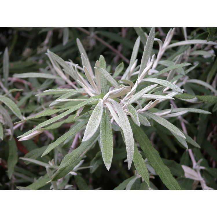 Buddleja loricata - mountain sagewood