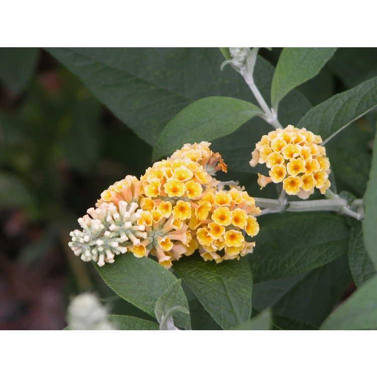 Buddleja ×weyeriana 'Sungold' - Weyer's golden butterfly- bush