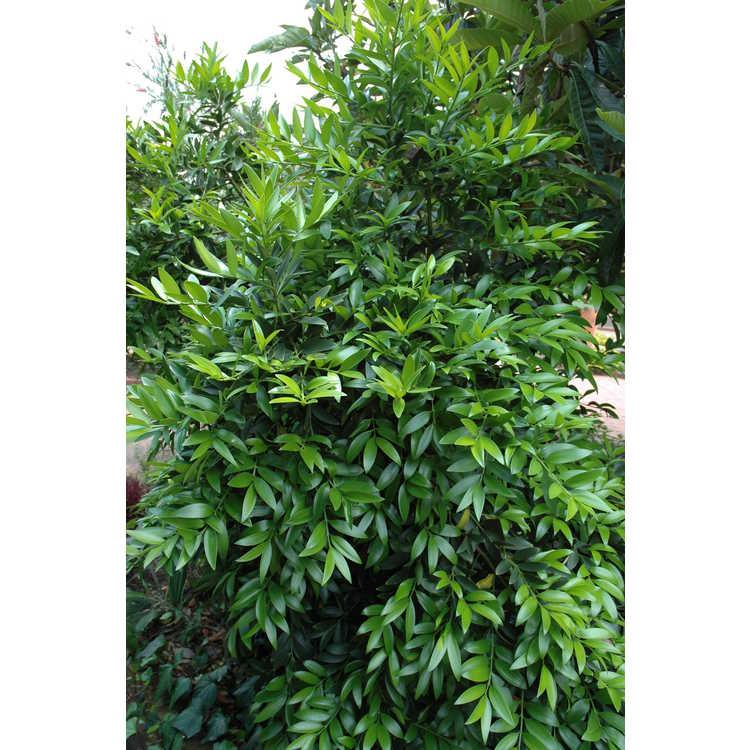Nageia nagi - broad-leaved podocarpus