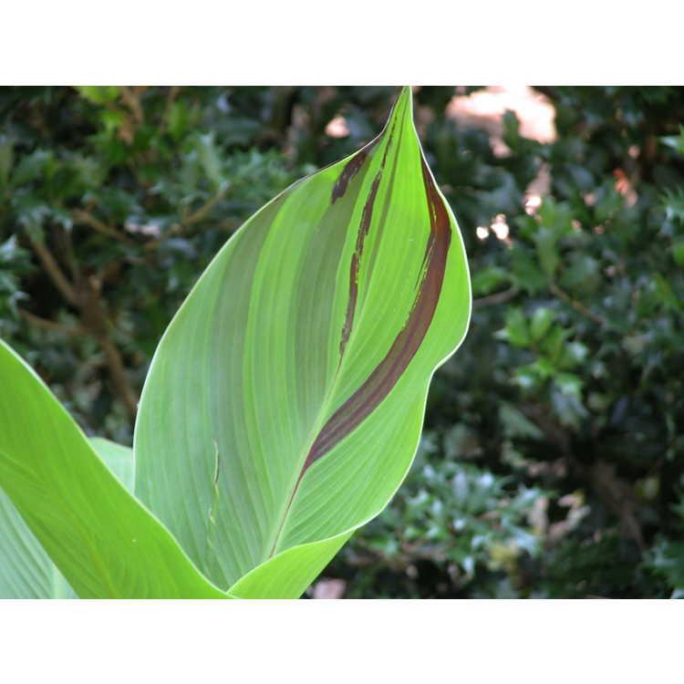 Canna 'Cleopatra' - canna-lily