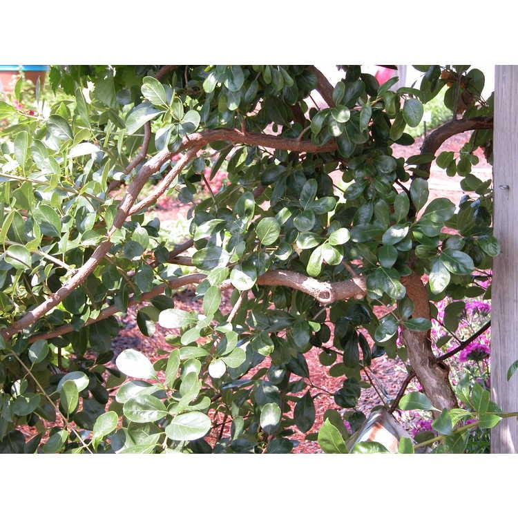Chionanthus retusus (Norfolk weeping)