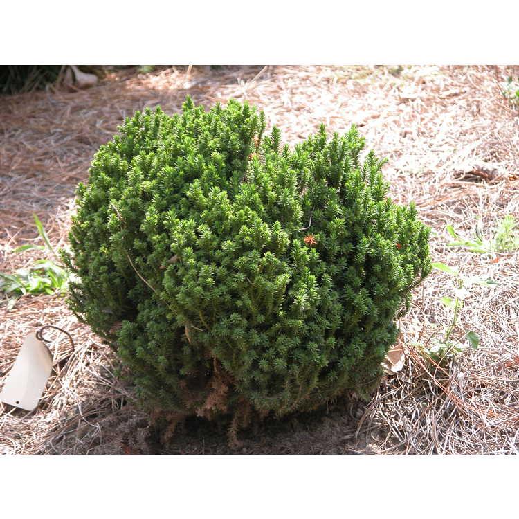 Cryptomeria japonica 'Birodo Sugi' - dwarf Japanese-cedar