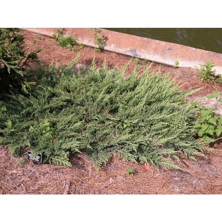 Juniperus horizontalis 'Prince of Wales' - creeping juniper