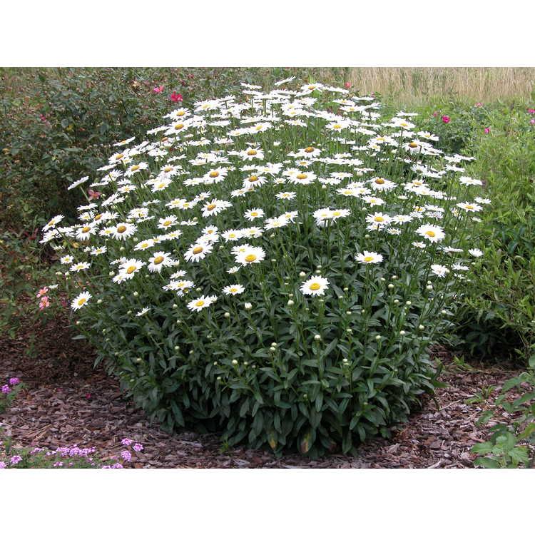Leucanthemum ×superbum 'Becky' - Shasta daisy