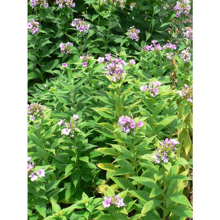 Phlox paniculata 'John Fanick' - garden phlox