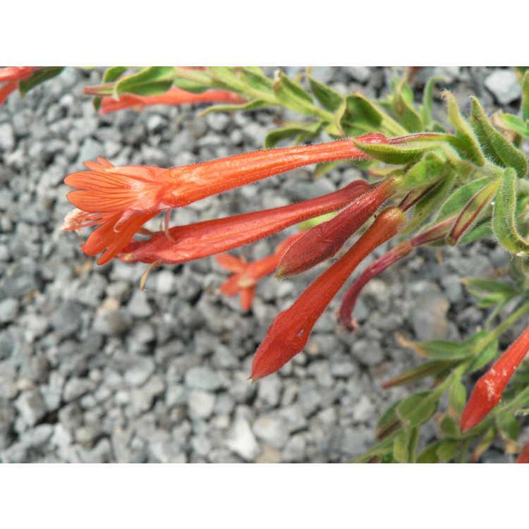 Zauschneria garrettii