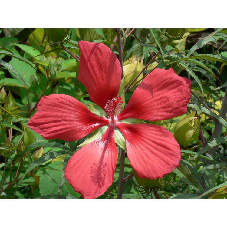 Hibiscus coccineus - scarlet mallow