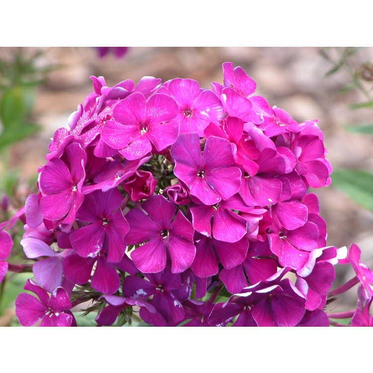 Phlox paniculata 'Nicky' - garden phlox