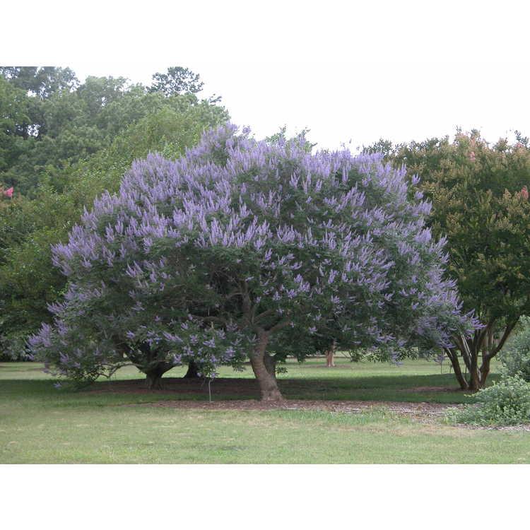 Vitex agnus-castus 'Shoal Creek' - chaste tree