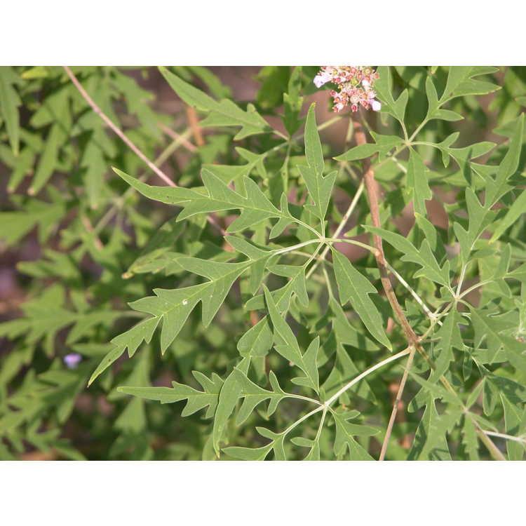 Vitex negundo var. heterophylla
