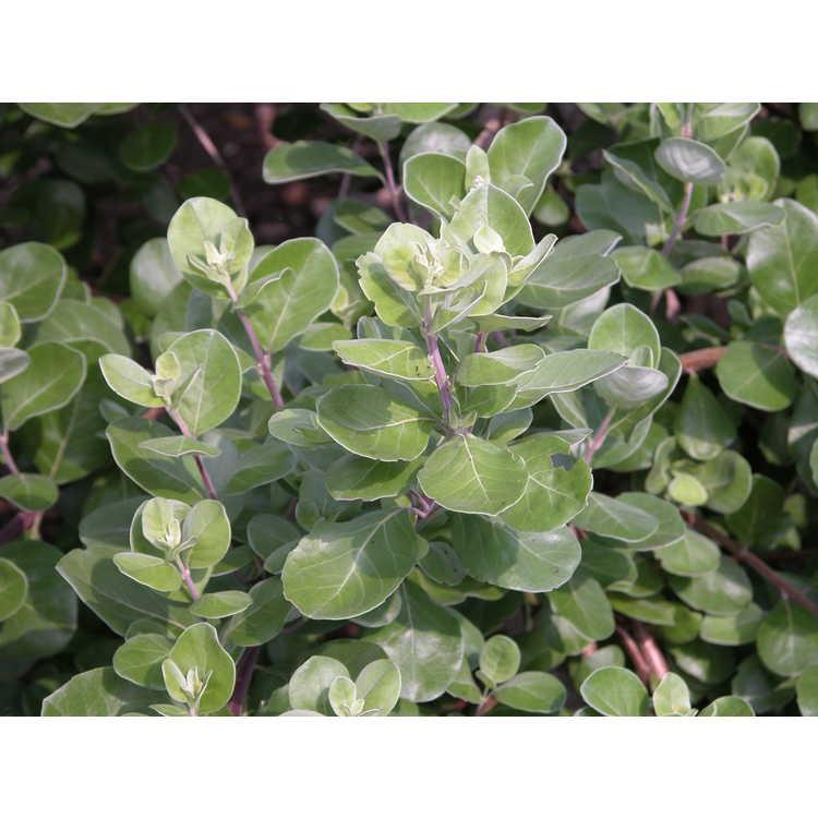 Vitex rotundifolia - beach vitex